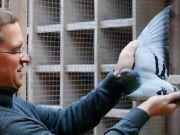 中国买家花1250万买下比利时赛鸽 可能被用做种鸽