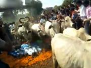 数十名印度教徒趴地上让200多头牛踩……