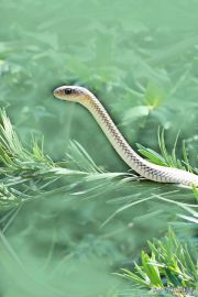 请问大家水蛇是保护动物吗?我在农村鱼塘放的鱼苗被水蛇吃了大半,能不能抓水蛇呢?