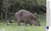 """动物世界的趣闻定格,水豚淡定吃草,却被小鹰背后""""袭击"""""""