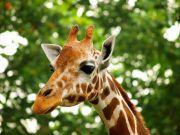 长颈鹿曾经被称为是麒麟?关于长颈鹿,你所不知道的趣闻小事