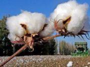 世界顶级!新疆棉花中国自己还不够用