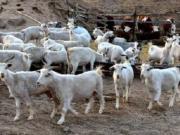 养羊50只一年赚多少钱 2021年养羊前景如何?