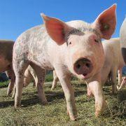 日本发生猪瘟将扑杀1万头猪
