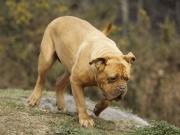 狗界寿命最短的9种狗,并不能陪你很久,你还敢养吗?