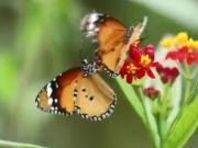 云南将现1.5亿只蝴蝶大爆发奇观