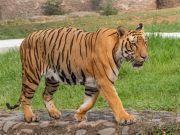河南一景区两只老虎逃跑:饲养员被咬后身亡 老虎均被击毙