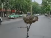 鸵鸟市区狂奔20多公里