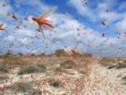 去年印度的4000亿蝗虫,为何一夜消失,怎么做到的?