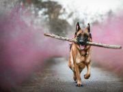 中国刑警学院竞售54只淘汰受训犬:要求不得弃养