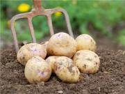 土豆也能用种子种植:杂交马铃薯问世