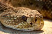 科学家新发现:气候变暖对响尾蛇有利无害
