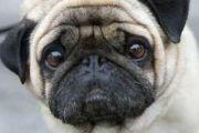 世界上最忧郁的狗:眼神忧郁愁容满面(总是一脸丧)