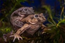 世界最大青蛙因能壮阳差点被吃灭绝:专家尝试人工养殖进行保护