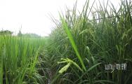 袁隆平梦想成真:2米高巨型稻在重庆试种成功