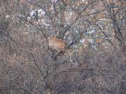 山西一只金钱豹遭狗群围攻!现场画面曝光,网友:混的最惨的豹子