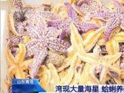 """""""海底蝗虫""""大举入侵!在青岛胶州湾疯狂掠食,所过之处片甲不留!网友支招:吃光它们…靠谱吗?"""