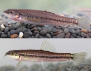 鱼类新种纪录!云南发现中国鱼类新种川河云南鳅