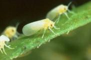 """中国科学家揭示""""超级害虫""""烟粉虱广泛寄主适应性的分子机制"""