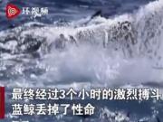 15米长蓝鲸被75只虎鲸吃掉,激烈搏斗3小时